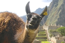 Pic #5 - I was top comment earlier on a post about a llama in Machu Piccu You guys sent me a bunch of funny llama pics as replies so I compiled them all into  album Enjoy