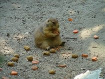 Picture I took of a prairie dog with an eating disorder at a Maryland zoo