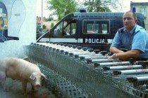 Police in Poland has successfully captured pig on the run by using unconventional blockade