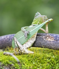 Rango playing the guitar