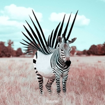 Rare picture of a zebra taking off