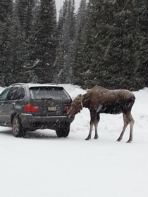 Received a Moose Licking Warning on my phone for Alberta Was not disappointed