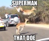 Regarding those majestic impalas leaping over the street