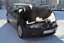 Remember as days get colder animals are attracted to the warmth of cars so check wheel arches or other hiding places
