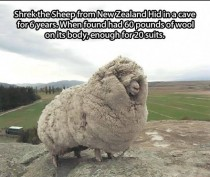Shrek the sheep from New Zealand hid in a cave for  yearsand had  lbs of wool on its body - enough for  suits