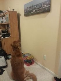 Since being on pain medicine my dog has found a new appreciation for art He stared at this for almost  min