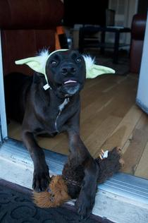 So I got free Yoda ears with purchase of a Star Wars toy at Petco today