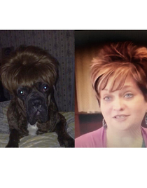 So I put a wig on my dog and he really looks like one of the moms from toddlers and tiaras