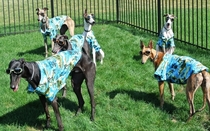 So my friends greyhounds got some new clothes