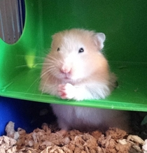 So my friends hamster thinks hes the Don