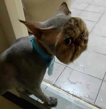 Someone shaved this whole cat except the face