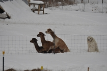 Sometimes you just feel like a dog at a llama orgy