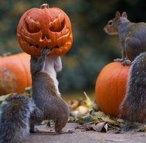 Squirrels stealing pumpkins