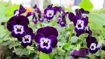 Tell me why these pansies look like little men with mustaches