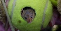Tennis balls used at Wimbledon are donated to provide homes for endangered Eurasian harvest mice