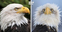 Thats why they take only side photos of Eagles