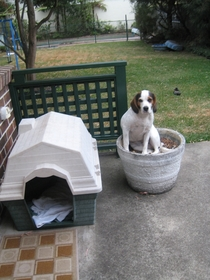 The caninus sittinginapotlius is a carnivorous and hairy species occasionally found in backyards