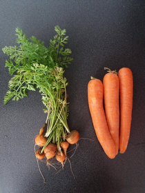 The carrots I grew  vs some store bought ones we had