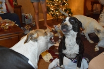 The family doggies opening there Christmas presents