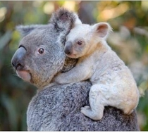 The fingerprints of koalas are so indistinguishable from humans that police have occasionally filed them into their computer databases by accident