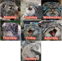 The Manul Cat seems very expressive so I made it into a week-calendar