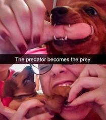 the predator becomes the prey