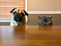The pug is the concerned mother while the cat is the disappointed father