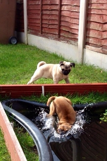 The pug pushed my mums dog into the pond and my sister got the best photo ever