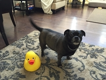The time I bought a large rubber duck and terrified my dog