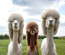 These alpacas look like theyre about to drop the hottest classic rock album of