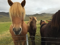These Icelandic horses are my new favorite boy band