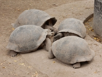 These tortoises appear to be up to no good Looks like a conspiracy is afoot