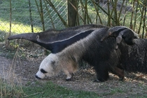 This anteaters front leg looks like a panda