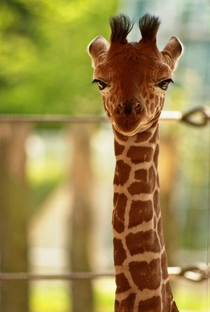 This baby giraffe is not amused by your bullshit