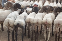 This breed of fat-tailed sheep have human-like buttocks