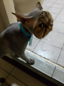 This cat fully shaved except for its face