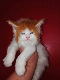 This cat looks like Ed Sheeran