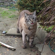 This cat wanders our neighborhood hes crosseyed and fat Caught him being a derp