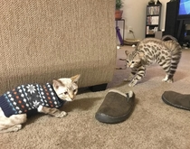 This cats reaction to his brother in a sweater