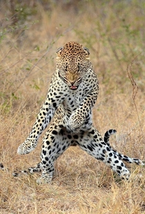 This Cheetah about to do the fastest floss dance