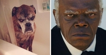 This dog looks like Samuel L Jackson