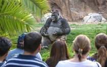 This gorilla looks like hes having his undergraduate philosophy lecture outside since its a nice day