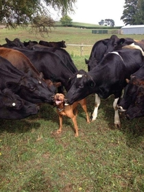 This guy getting kissed by all the cows