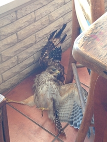 This hawk came into my house this morning and made a complete fool of himself