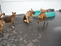 This is my dog yelling at the other dogs at daycare