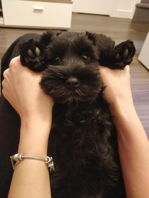 This is probably the cutest pic of Maya The Mini Schnauzer Looks at those eyes they are like Please release me I havent touched your shoe