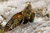 This Kea I met yesterday looks like hes trying to sell me a fake Rolex