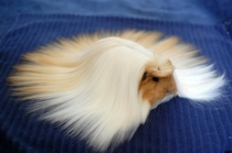 This magnificent haired guinea pig