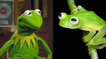 This newly discovered species of frog looks jus like Kermit