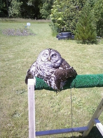 TIL owls start to melt when exposed to direct sunlight